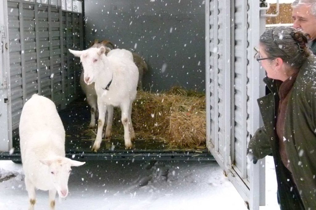 goats-moving-3